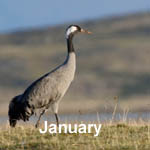 Outer Hebrides Bird sightings January 2018