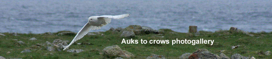 Auks to crows photogallery Outer Hebrides