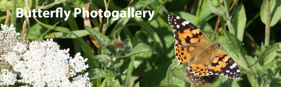 Butterflies of Outer Hebrides photogallery