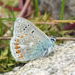 Common Blue underwing