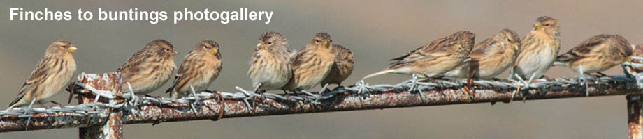 Finches to buntings of Outer Hebrides photogallery