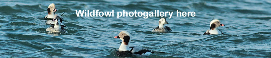 Wildfowl photogallery Outer Hebrides