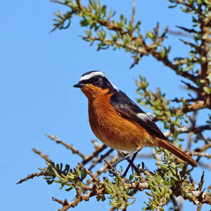 Moussiers Redstart, Morocco