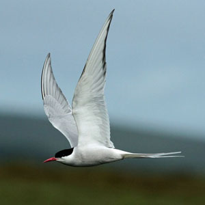 Orkney Island Tour - Arctic Tern