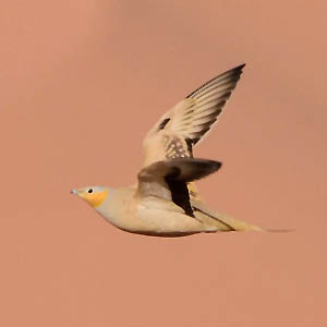 Spotted Sandgrouse, Morocco