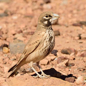 Thick-billed Lark, Morocco