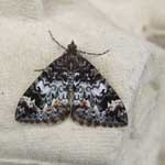Common Marbled Carpet