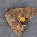 Least Yellow Underwing