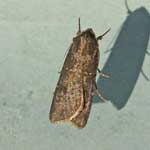 Pearly Underwing