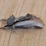 Swallow Prominent - Outer Hebrides Moths