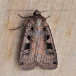 Triple-spotted Clay - Outer Hebrides Moths