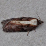 Acleris Hastiana - Outer Hebrides Micro Moths