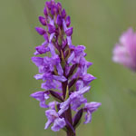 Chalk Fragrant Orchid
