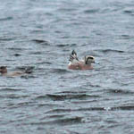 American Wigeon with female Wigeon
