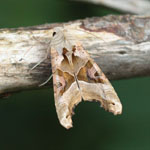 Angle Shades - Outer Hebrides Moths