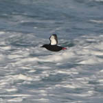Black Guillemot - Outer Hebrides Birds