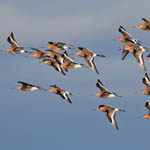 Black-tailed Godwits, South Uist