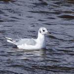 Bonaparte's Gull, North Uist