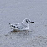 2nd cal yr Bonaparte's Gull