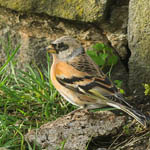 male Brambling