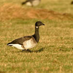 pale-bellied Brent Goose, North Uist