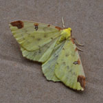Brimstone Moth - Outer Hebrides Moths