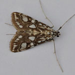 Brown China Mark - Outer Hebrides Moths
