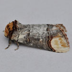 Buff Tip - Moths of the Outer Hebrides