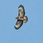 Buzzard, South Uist