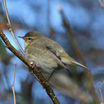 Chiffchaff, South Uist