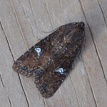 Common Rustic - Outer Hebrides Moths