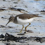 juvenile Common Sandpiper