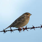 Corn Bunting North Uist