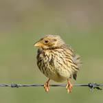 Corn Bunting - Outer Hebrides Birds
