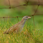 Corncrake North Uist