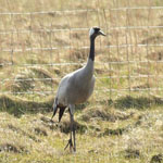 Common Crane, Loch an' t-Saile