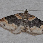 Dark-barred Twin-spot Carpet - Outer Hebrides Moths
