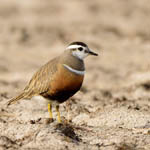 female Dotterel, Balranald