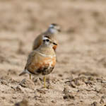 male Dotterel, Balranald