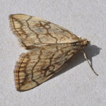 Evergestis pallidata - Moths of the Outer Hebrides
