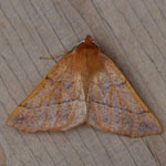 Feathered Thorn - Outer Hebrides Moths