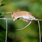 Field Mouse - Outer Hebrides Mammals