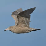 juvenile Glaucous Gull, South Uist