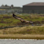Golden Eagle, Outer Hebrides