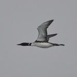Great Northern Diver - Outer Hebrides Birds