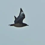 Great Skua - Rubha Ardvule