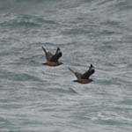 Great Skuas - Rubha Ardvule