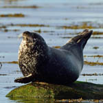 Harbour Seal, Outer Hebrides