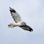 mouting male Hen Harrier