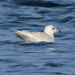 1st winter Iceland Gull - Outer Hebrides Birds